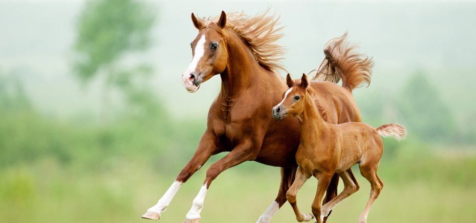 chestnut horse and foal