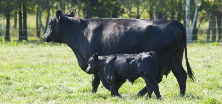 black cow and calf